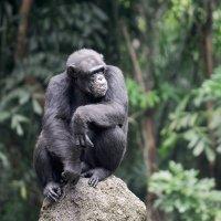 Ouh Ouh Ah Ah Ah… Les grands singes sont là!